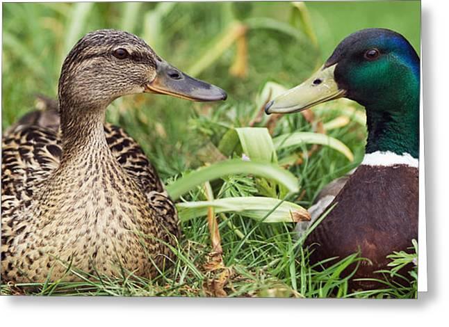 Sitting Ducks Greeting Cards - Mallard Ducks, Composite Image Greeting Card by Georgette Douwma