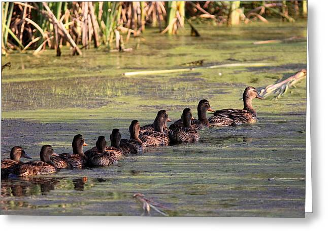 Mallard Ducks In A Row Greeting Card by Travis Truelove