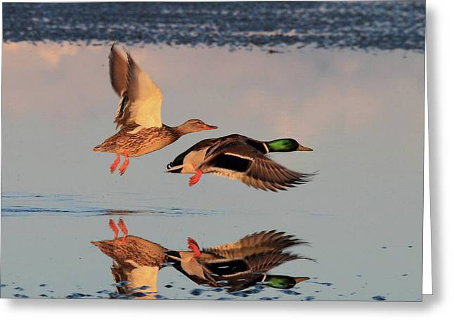 Mallard Greeting Cards - Mallard Ducks in flight Greeting Card by Pierre Leclerc Photography
