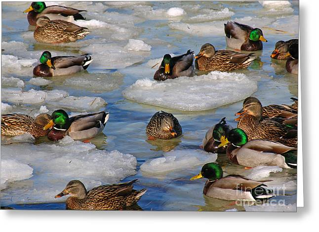 Bully Greeting Cards - Mallard Ducks Greeting Card by Juergen Roth