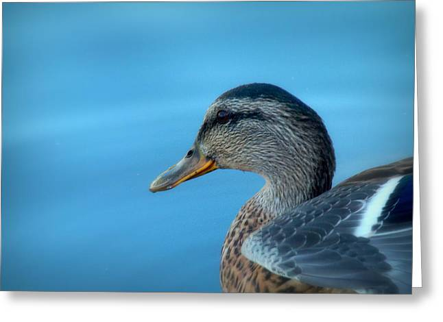 Mallard Hen Closeup Greeting Card by Cindy Wright