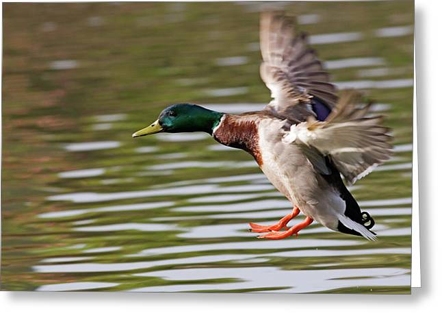 Mallard Greeting Cards - Mallard Landing Greeting Card by Randall Ingalls