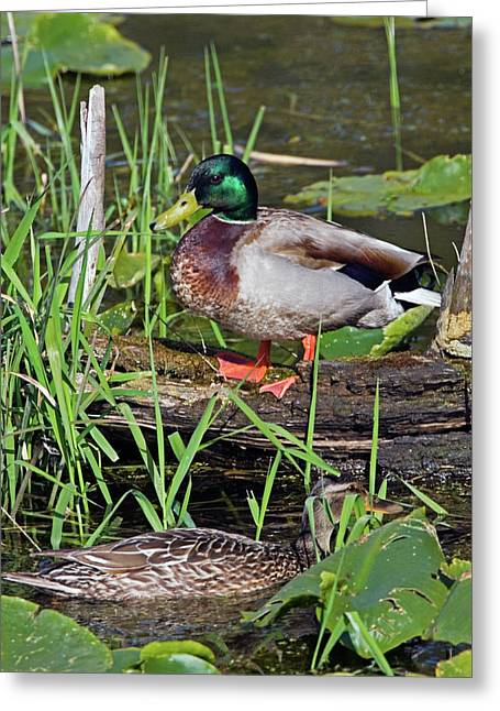 Mallard Greeting Cards - Mallard Pair Greeting Card by Randall Ingalls
