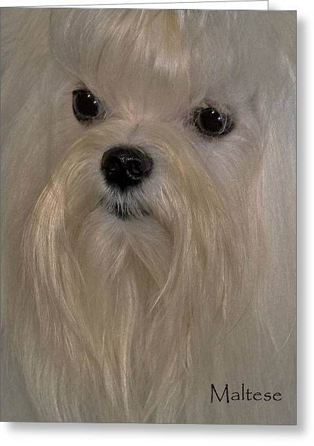 Maltese Dogs Greeting Cards - Maltese Greeting Card by Larry Linton