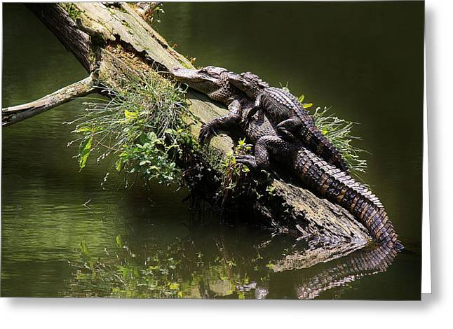 Paulette Thomas Greeting Cards - Mama Alligator with her Baby  Greeting Card by Paulette Thomas