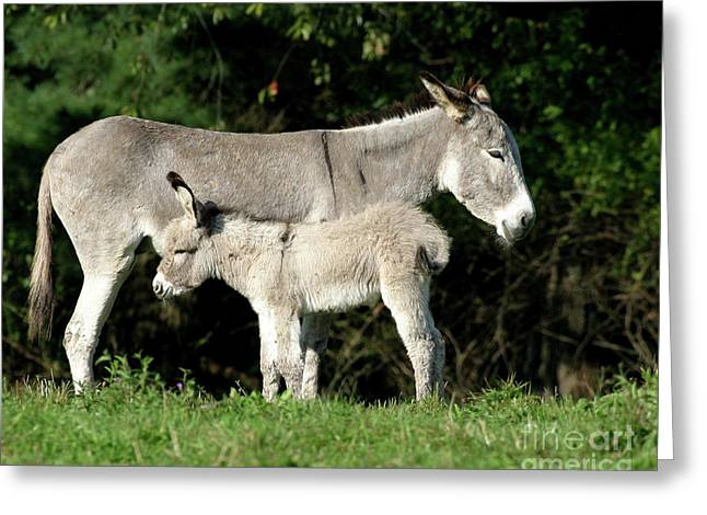 Jackass Foal Greeting Cards - Mama Donkey And Baby Greeting Card by Deborah  Smith