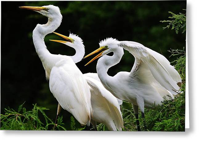 Mama Egrets With Her Babies Greeting Card by Paulette Thomas