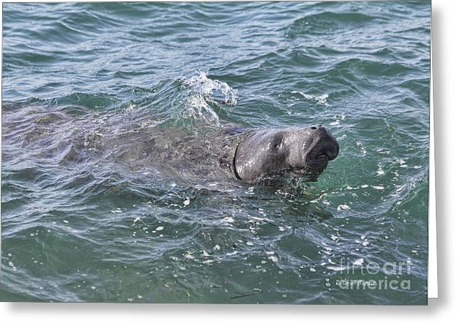 Ocean Mammals Greeting Cards - Manatee At Ponce Inlet Greeting Card by Deborah Benoit