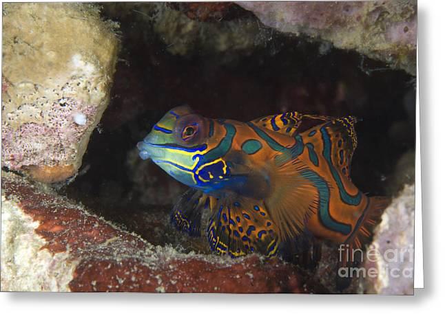 New Britain Greeting Cards - Mandarinfish Sheltering Amongst Rocks Greeting Card by Steve Jones