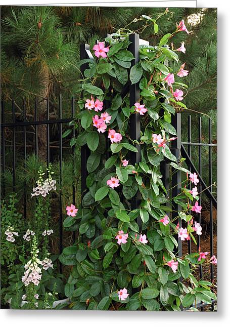 Foxglove Flowers Greeting Cards - Mandevilla Vine With Pink Flowers Greeting Card by Darlyne A. Murawski