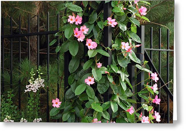 Mandevilla Vine With Pink Flowers Greeting Card by Darlyne A. Murawski