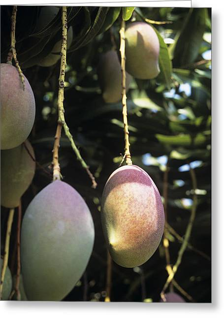 Mango Greeting Cards - Mango Fruit Greeting Card by Veronique Leplat