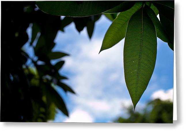 Mango Greeting Cards - Mango tree leaf Greeting Card by Anya Brewley schultheiss