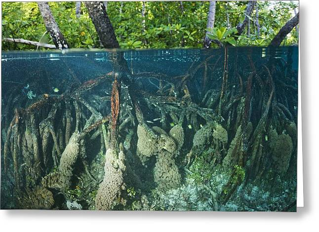 Biological Greeting Cards - Mangrove Swamp Greeting Card by Georgette Douwma