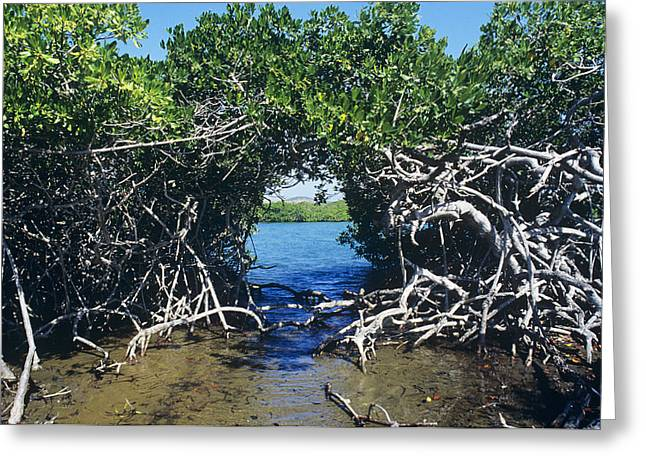 Mangrove Trees Greeting Cards - Mangrove Trees Greeting Card by Dirk Wiersma