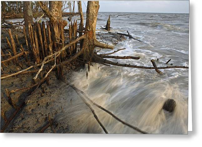 Mangrove Trees Protect The Coast Greeting Card by Tim Laman