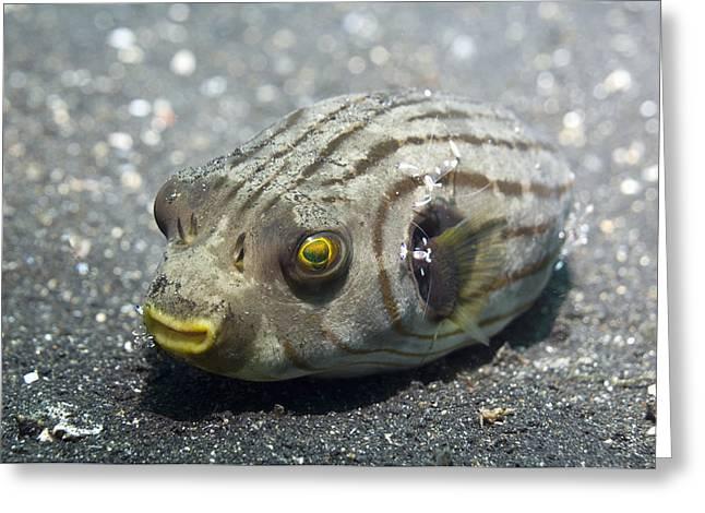 Puffer Greeting Cards - Manila Pufferfish Greeting Card by Georgette Douwma