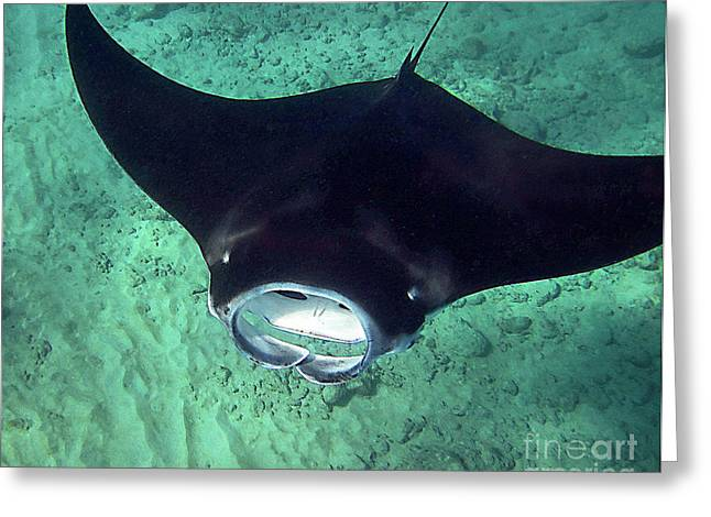 Manta Rays Greeting Cards - Manta Mouth Greeting Card by Bette Phelan