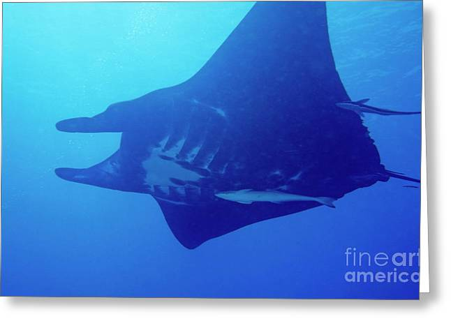 Sami Sarkis Greeting Cards - Manta ra and a remora fish swimming Greeting Card by Sami Sarkis