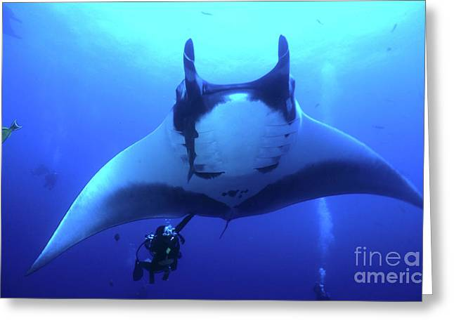 Spadefish Greeting Cards - Manta Ray And Scuba Diver, Socorro Greeting Card by Beverly Factor