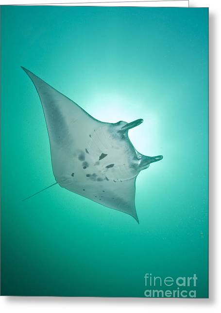 Elasmobranch Greeting Cards - Manta Ray With White Belly, Komodo Greeting Card by Mathieu Meur
