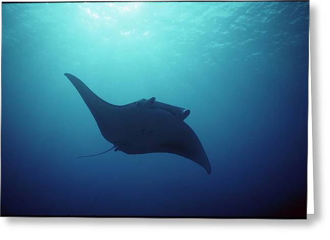 Yap Greeting Cards - Manta Ray, Yap Islands, Caroline Greeting Card by Joe Stancampiano