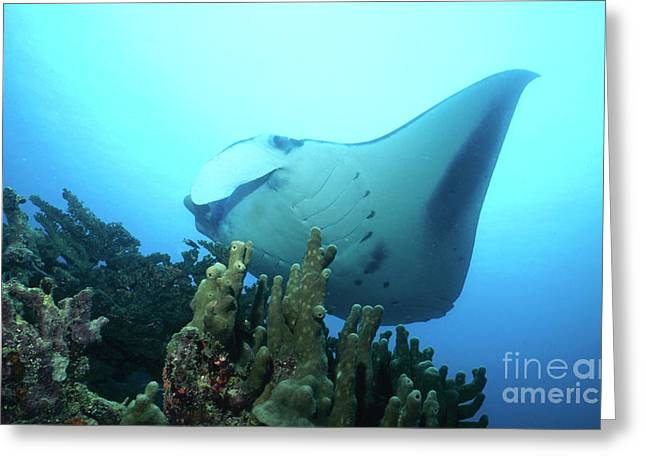 Yap Greeting Cards - Manta Ray, Yap, Micronesia Greeting Card by Beverly Factor