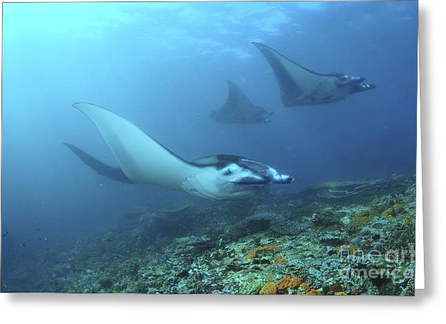 Elasmobranch Greeting Cards - Manta Rays, Komodo, Indonesia Greeting Card by Mathieu Meur