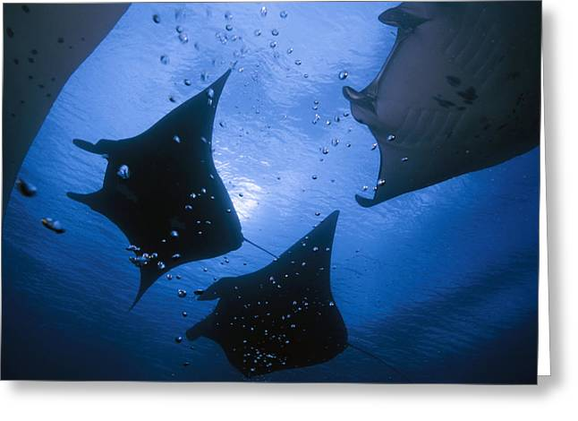 Ray Fish Greeting Cards - Manta Rays Over Manta Point Greeting Card by David Doubilet