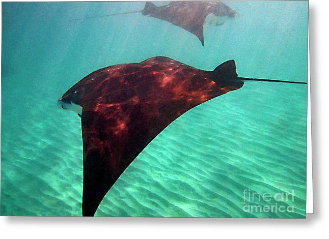Manta Rays Greeting Cards - Mantas in the Bay Greeting Card by Bette Phelan