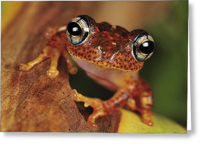 Madagascar National Park Greeting Cards - Mantellid Frog Boophis Tephraeomystax Greeting Card by Thomas Marent