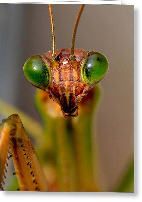 Mantodea Greeting Cards - Mantis Eyes Greeting Card by William Jobes