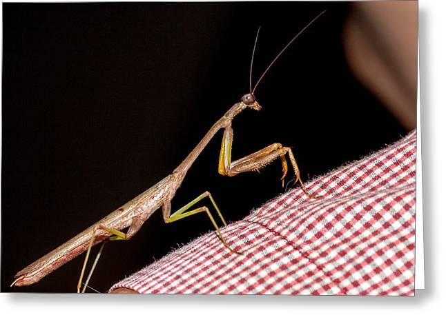 Praying Mantis Greeting Cards - Mantis on my Shoulder Greeting Card by Jean Noren