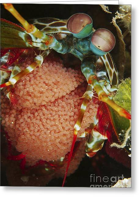 Decapoda Greeting Cards - Mantis Shrimp With Egg Clutch, North Greeting Card by Mathieu Meur