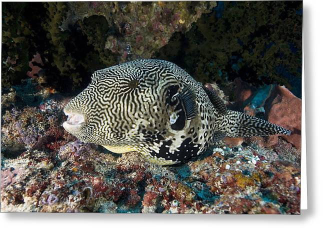 Pufferfish Greeting Cards - Map Pufferfish Greeting Card by Matthew Oldfield