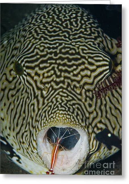 Pufferfish Greeting Cards - Map Pufferfish With Red Cleaner Shrimp Greeting Card by Mathieu Meur