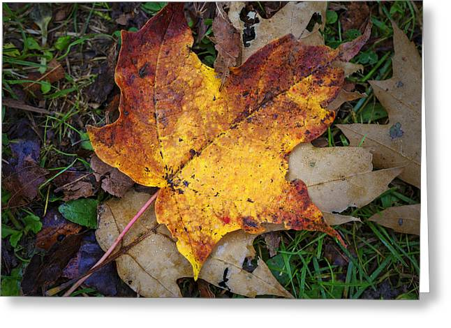 Autumn Colors Greeting Cards - Maple Leaf in Fall Greeting Card by Rick Berk