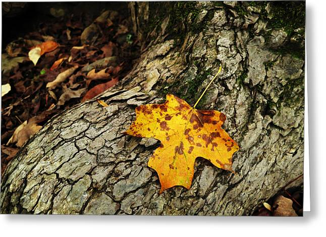 Arkansas Greeting Cards - Maple Leaf Greeting Card by Matthew Parks
