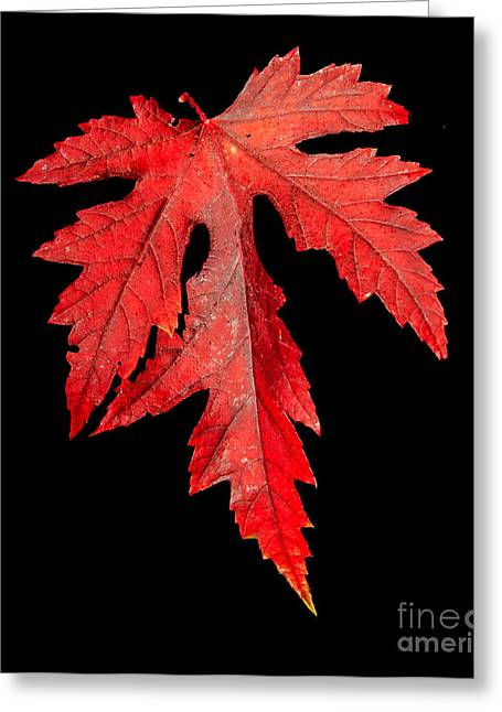 Maple Photographs Greeting Cards - Maple Leaf Greeting Card by Robert Bales