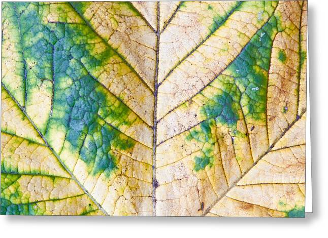 Floral Structure Greeting Cards - Maple leaf Greeting Card by Tom Gowanlock
