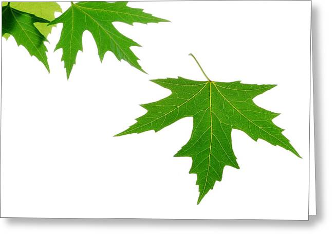 Maple Photographs Greeting Cards - Maple Leaves Greeting Card by Panos Trivoulides