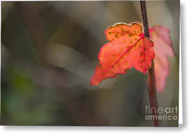 Maple Photographs Greeting Cards - Maple Sapling Greeting Card by Heather Applegate