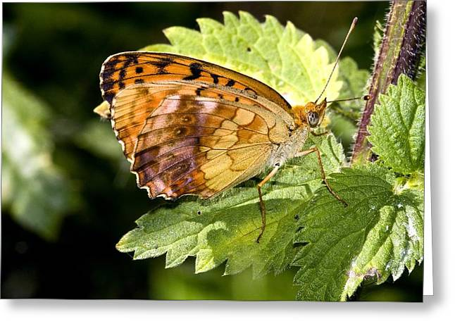 Invertebrates Greeting Cards - Marbled Fritillary Butterfly Greeting Card by Paul Harcourt Davies