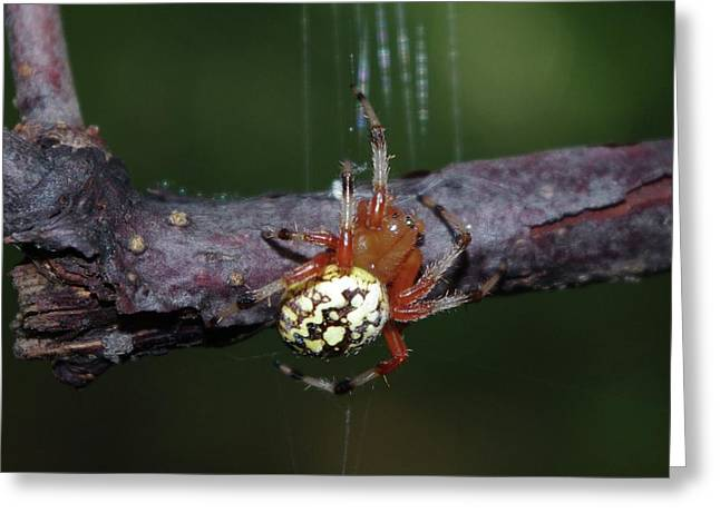 Marbled Orb Weaver Greeting Cards - Marbled Orb Weaver Greeting Card by Lynda Dawson-Youngclaus