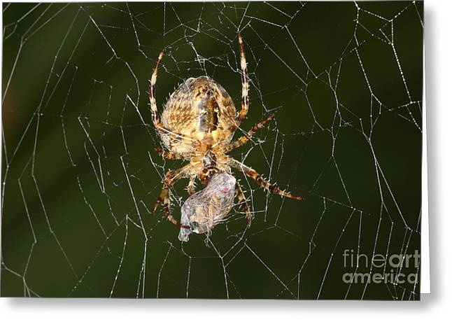 Spider And Fly Greeting Cards - Marbled Orb Weaver Spider Eating Greeting Card by Ted Kinsman