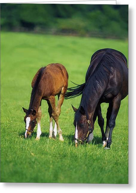 Full Body Greeting Cards - Mare And Foal Thoroughbred Horses Greeting Card by The Irish Image Collection