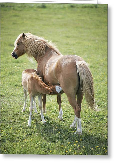 Equus Caballus Greeting Cards - Mare Feeding Her Young Greeting Card by Bjorn Svensson