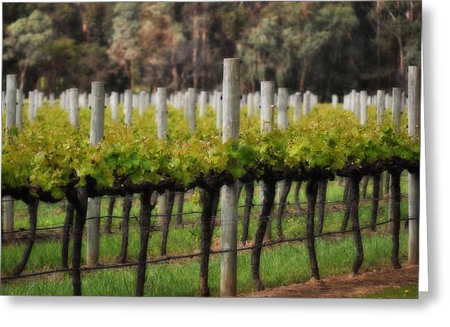Cellar Greeting Cards - Margaret River Vines Greeting Card by Phill Petrovic