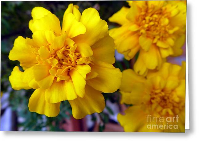 Indiana Autumn Greeting Cards - Marigold 4 Greeting Card by Alys Caviness-Gober