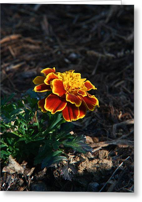 Compositae Greeting Cards - Marigold at Sunset Greeting Card by Douglas Barnett